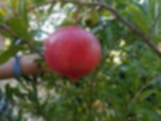parfianka-pomegranate-bush_2000x.jpg
