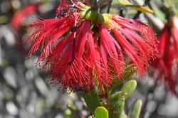 Murchison clawflower