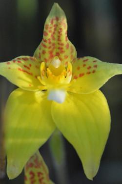 Kalbarri Cowslip Orchid