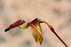Smooth-billed duck orchid