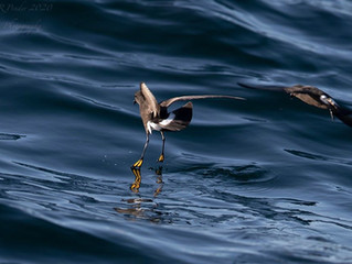 First Cory's and Great Shearwaters of the season