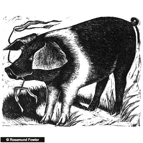 Saddleback Piglet