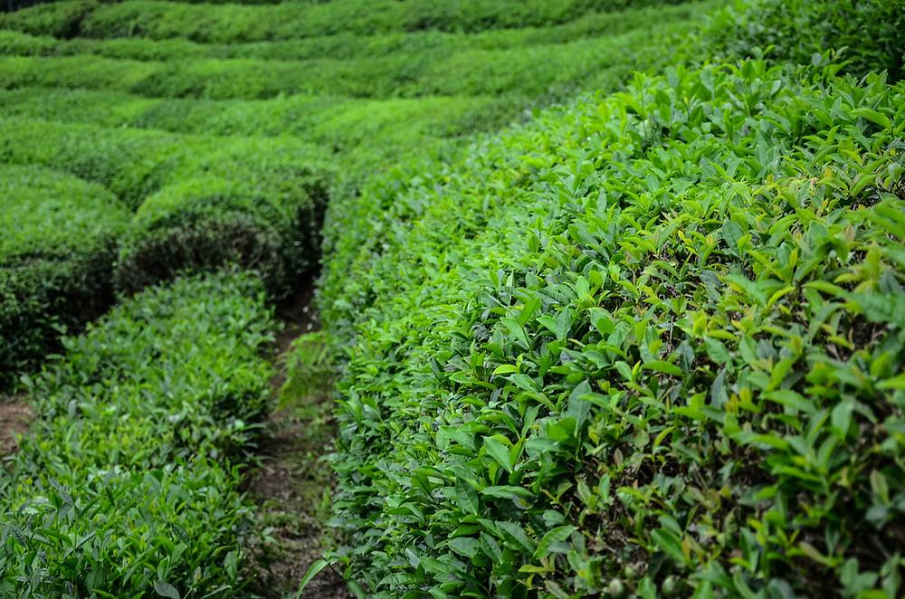 """alt=""""чайные плантации турции"""""""
