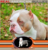 Americanbully.jpg