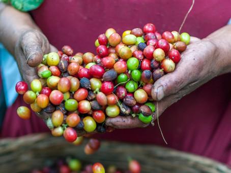 El Café un lazo entre Alemania y El Salvador
