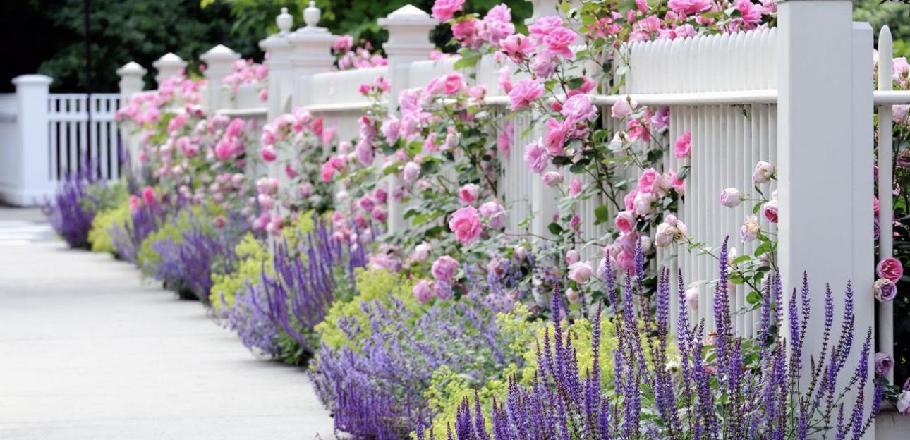 Rose breeder van Sante