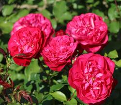 Casteels rose nursery
