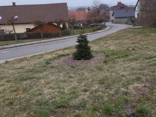 Budoucí vánoční stromek