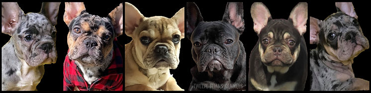 about-our-frenchies.jpg
