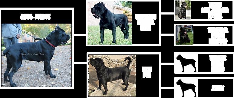 pedigree-asha.png
