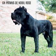 CH PRIMUS DE NOBIL ROSE DI ROCKSTARR KEN