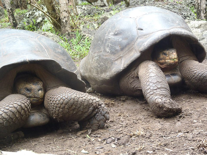 Galapagos_Toroise_2.png
