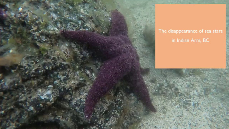 The Disappearance of Sea Stars in Indian Arm, BC