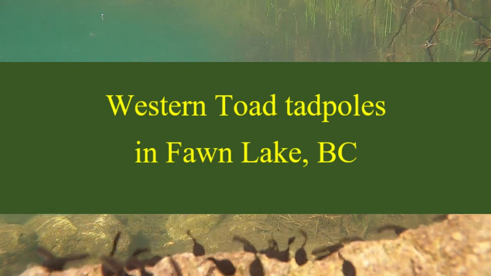 Western Toad Tadpoles in Fawn Lake, BC