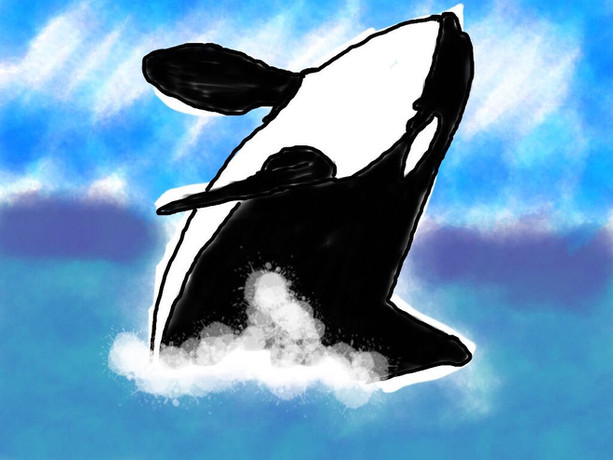 """Fun Fact: Orcas are not whales...they're dolphins!   Orcas are more commonly known as killer whales - a name that likely began as """"killer of whales"""" because these intelligent animals are known to hunt and kill a variety of whale species. The shift towards the name """"orca"""" was a push back at their misguided reputation as man-eaters, and towards their scientific name: Orcinus Orca. However, most don't realize that Orcinus is Latin for """"belonging to Orcus"""", god of the underworld!   There are three ecotypes of Orcas off the British Columbia coast: residents (salmon eaters), transients (marine mammal eaters), and offshore (shark eaters, but more research is needed). Orcas are matrilineal, with male offspring staying with their mothers for the entirety of their life! A famous Orca in the Southern Resident population named """"Granny"""" was thought to live to over 105 years old.   Orcas face many real threats from extinction. For example, there are only 76 Southern Resident Orcas left in the wild. This genetic bottleneck will pose a major conservation challenge into the future, as ecotypes of orcas do not breed with one another. Historically, the aquarium trade played a major role in their population decline. The first orca to be caught and displayed in captivity occurred off the coast of Vancouver, which sparked a global fascination with these animals and their desire in aquariums around the world. Today, the southern resident orcas face additional challenges such as diminishing salmon populations and marine pollution that accumulates up the food chain to these apex predators.    Submitted by: Anonymous"""