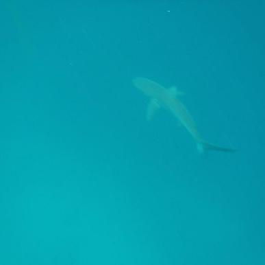 Galapagos_Shark.png