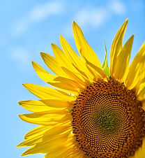 sunflower-3616249_1280_edited.jpg
