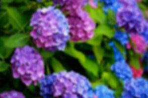 1-multicolored-hydrangeas-clyn-robinson.