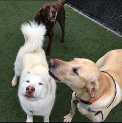 three dogs playing together at VIPuppy Spa