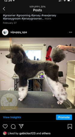 """Poodle """"after"""" photo from day of grooming at VIPuppy Spa"""