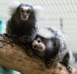 marmoset pair.jpg