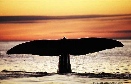 Fernando Ugarte whalesafari.no.jpg