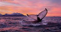 Humpback-whale-062014-99-0017 (1).jpg