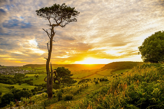 Lone Tree of Sidmouth