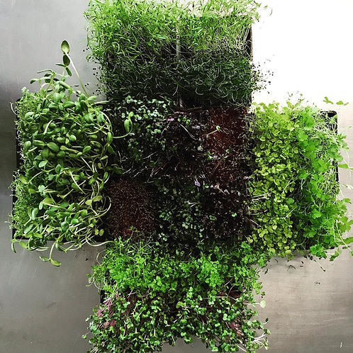 Living Microgreen Tray (organic)