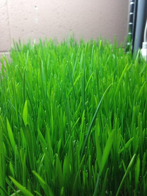 Wheat grass - Tray, organic