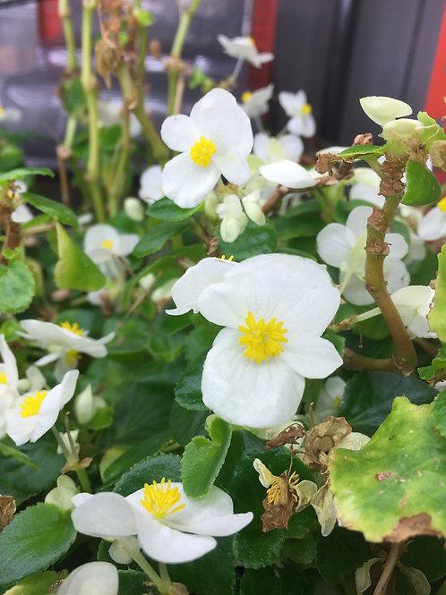 Edible Flowers 12oz cup