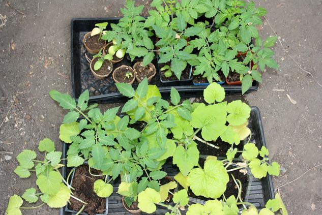 Seed Starting & Transplanting