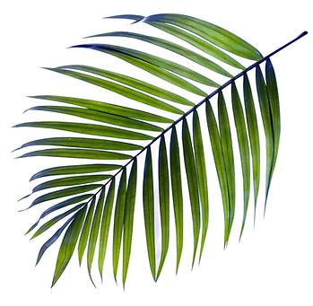 Palm Tree Leaf