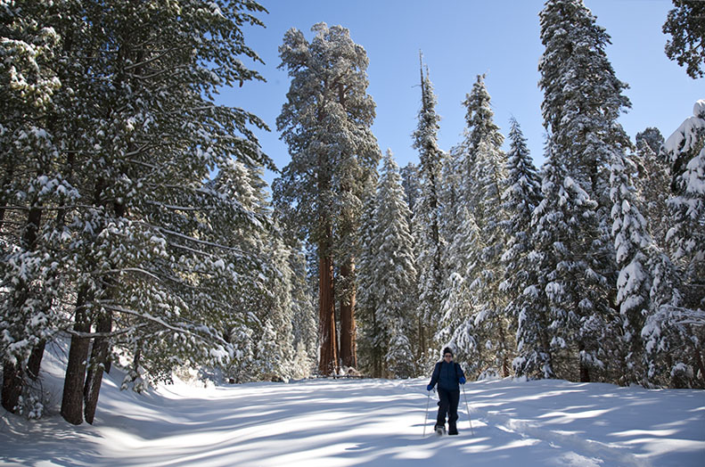 giant sequoia forest snow