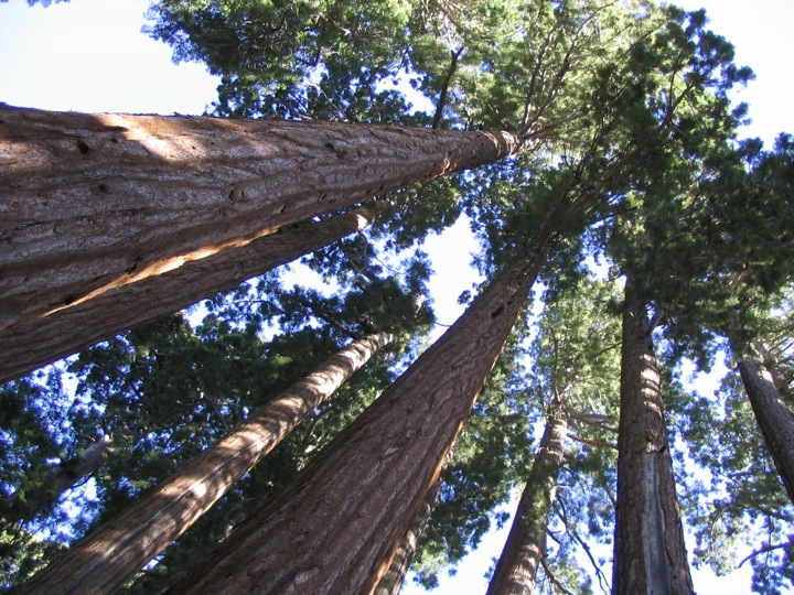 Giant Sequoias 2