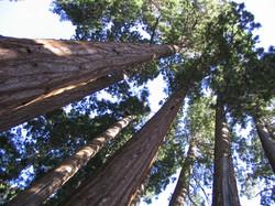 Giant Sequoias 2