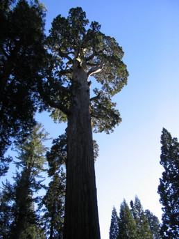 Giant Sequoias in Sequoia Natl Park