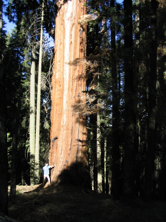 Giant Sequoias 1