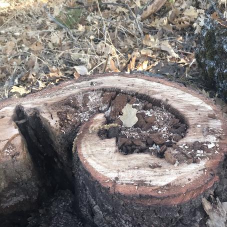 Oak Spirals