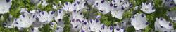 fivespot flowers