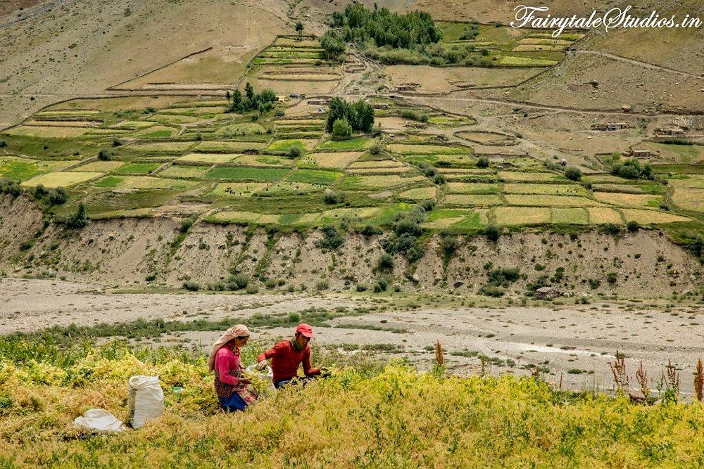 Locals harvesting fresh green peas in their fields in Pin Valley - Spiti Valley, Himachal Pradesh, India