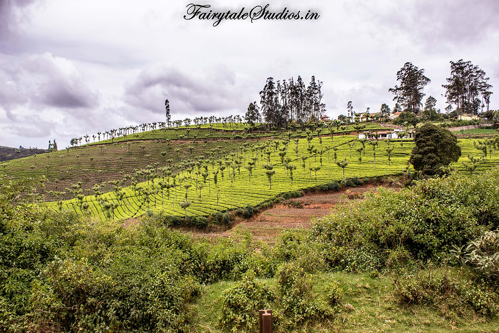 The forests turn into tea plantations as we come closer to Ooty