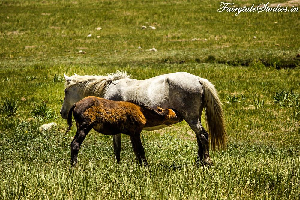 Horses besides Suru river on the way to Rangdum (The Zanskar Odyssey Travelogue)