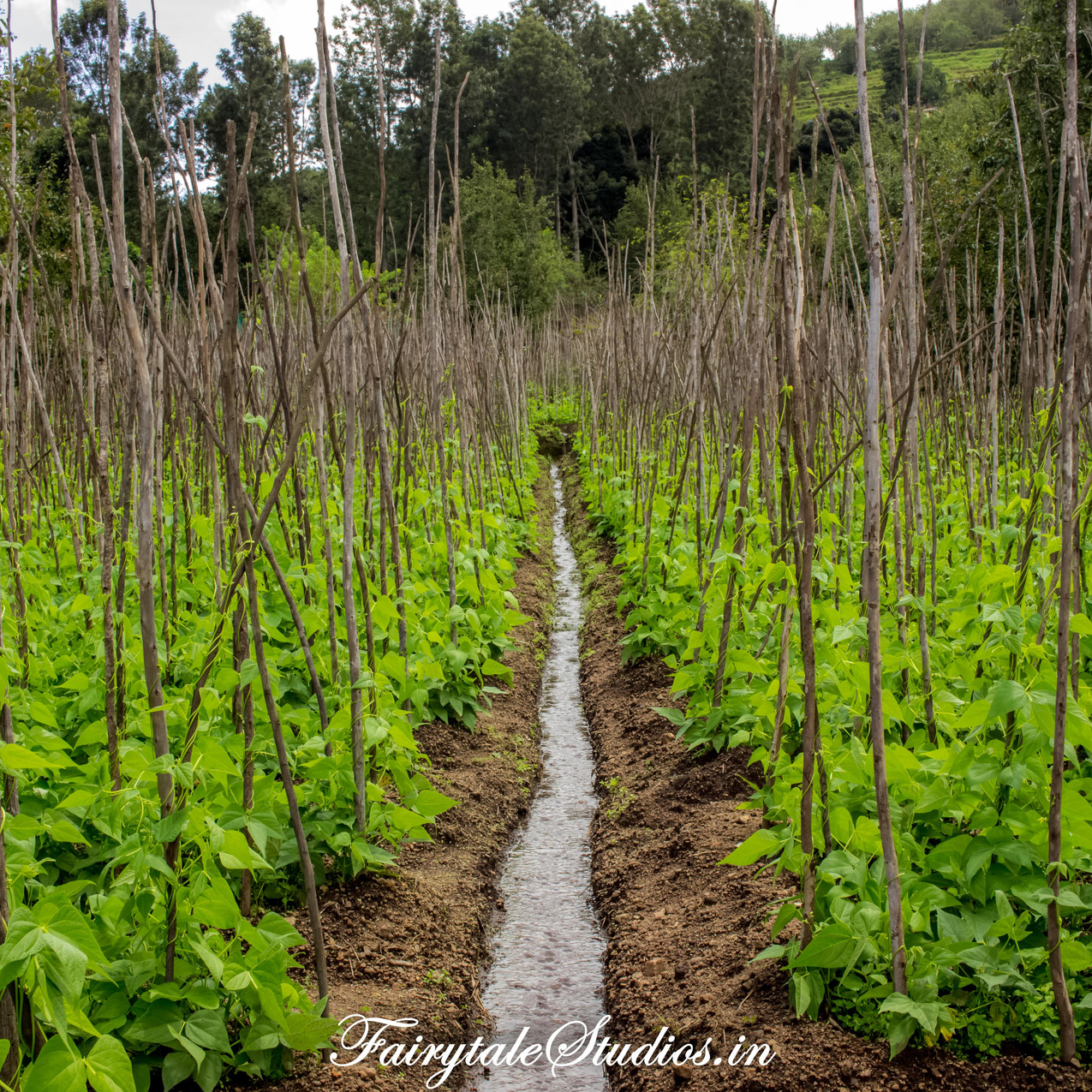 Farm_Pear County Kodaikanal_Fairytale Travels (5)