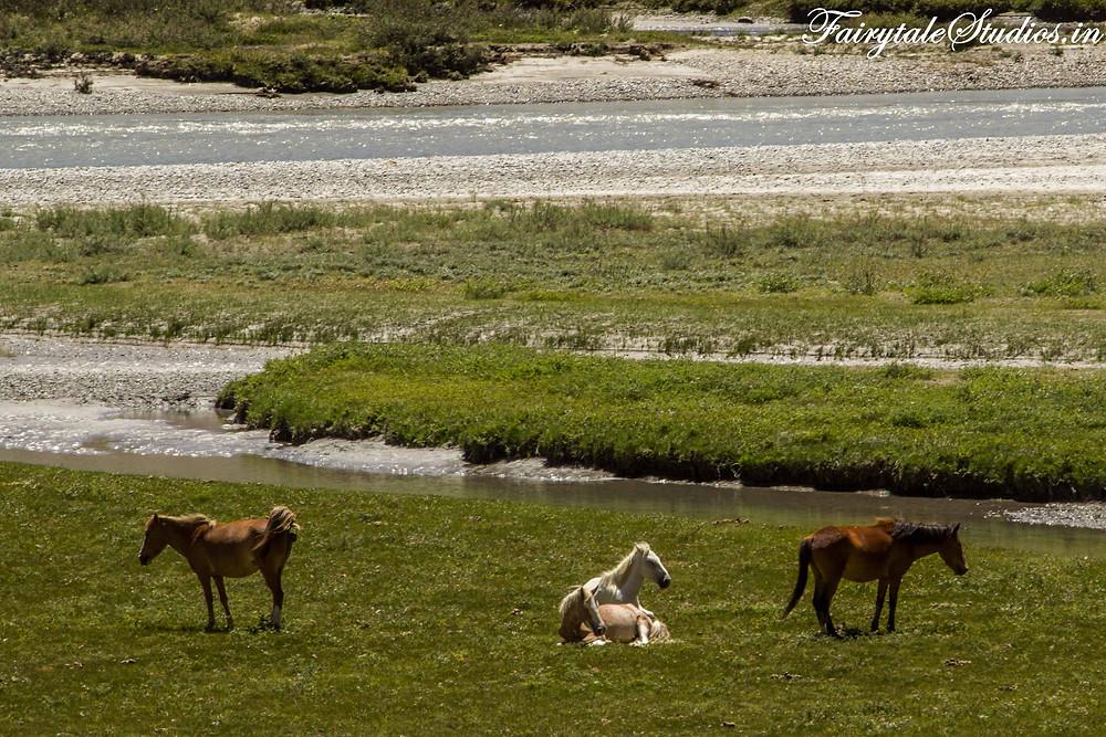 Horses lazing around in the sun besides Suru river on the way to Rangdum (The Zanskar Odyssey Travelogue)