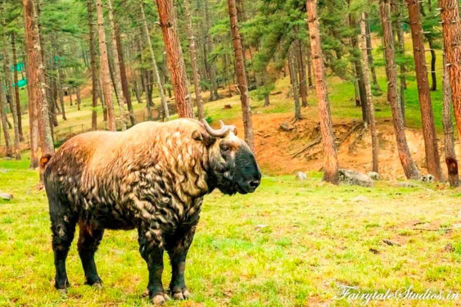 National Animal of Bhutan is known as Takin