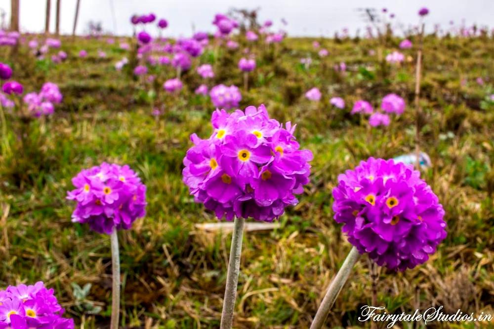 The purple Lilac primulas found in  Phobjikha or Gangtey Valley, Bhutan