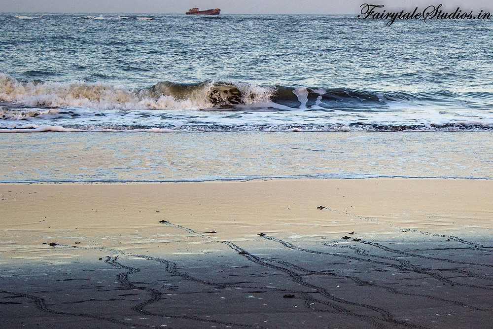 The baby turtles make their way to the sea as the waves opens up its arm to welcome it @ Velas beach, India during turtle festival