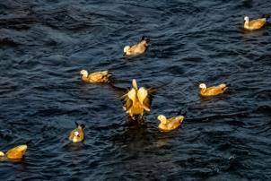 Birds flocking the areas near Nagarjuna Sagar dam