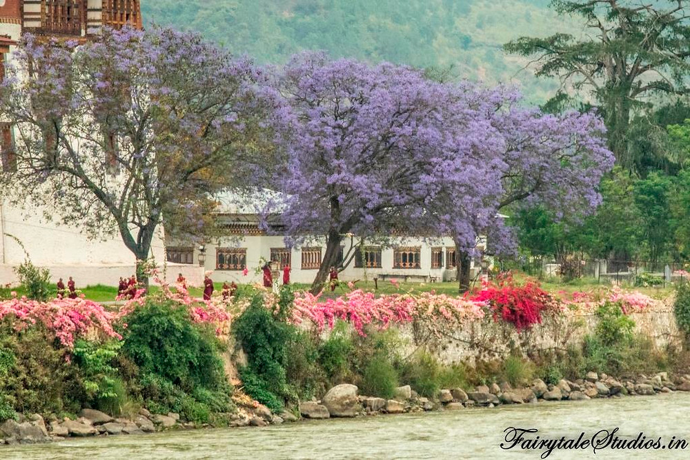 The bald monks in red robes seen going inside the Punakha Dzong that is surrounded by jacaranda trees in full bloom, Punakha - Bhutan